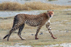 cheetah-wikipedia.jpg