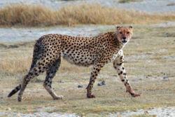 cheetah-wikipedia.jpg