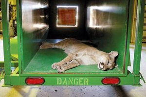 Napping Cougar (Photo - Dan Cepeda, Casper Star-Tribune - AP)